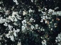 weiße Blüten mit grünen Blättern