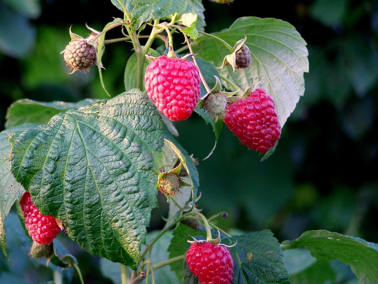 Słodkie Maliny - Słodki Malinowy jesienny raj (17×13)