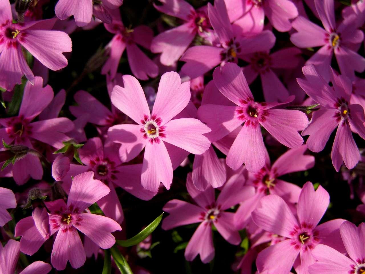 Flores cor de rosa - Tapete floral rosa (13×10)
