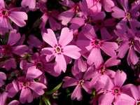 Pinke Blumen