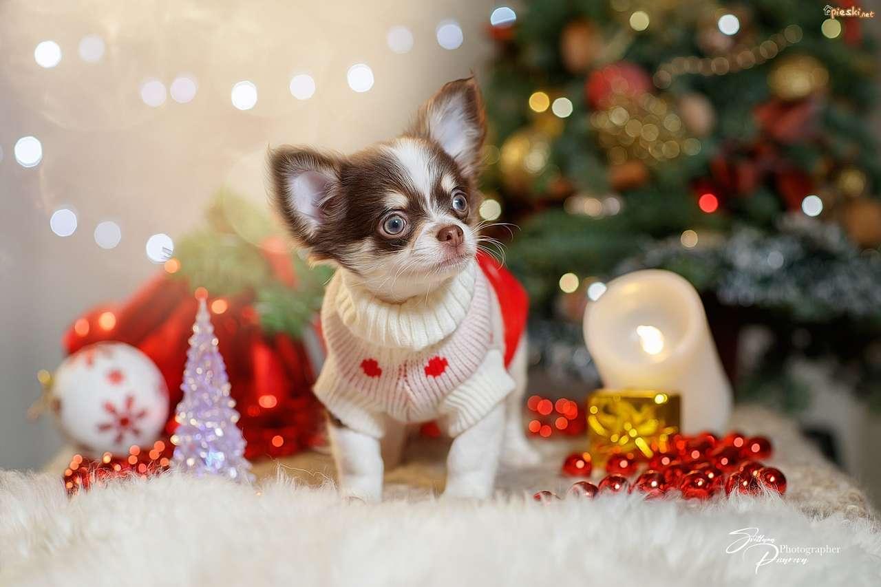 Chihuahua świąteczna - Chihuahua obraz świąteczny (4×3)
