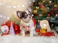 Chihuahua świąteczna.