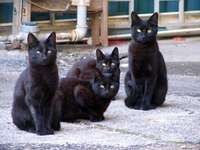 Chats noirs.