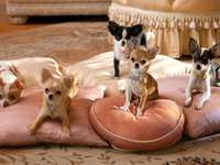 Family of chihuahua.