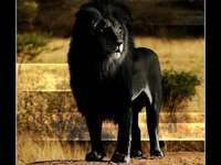 León negro.