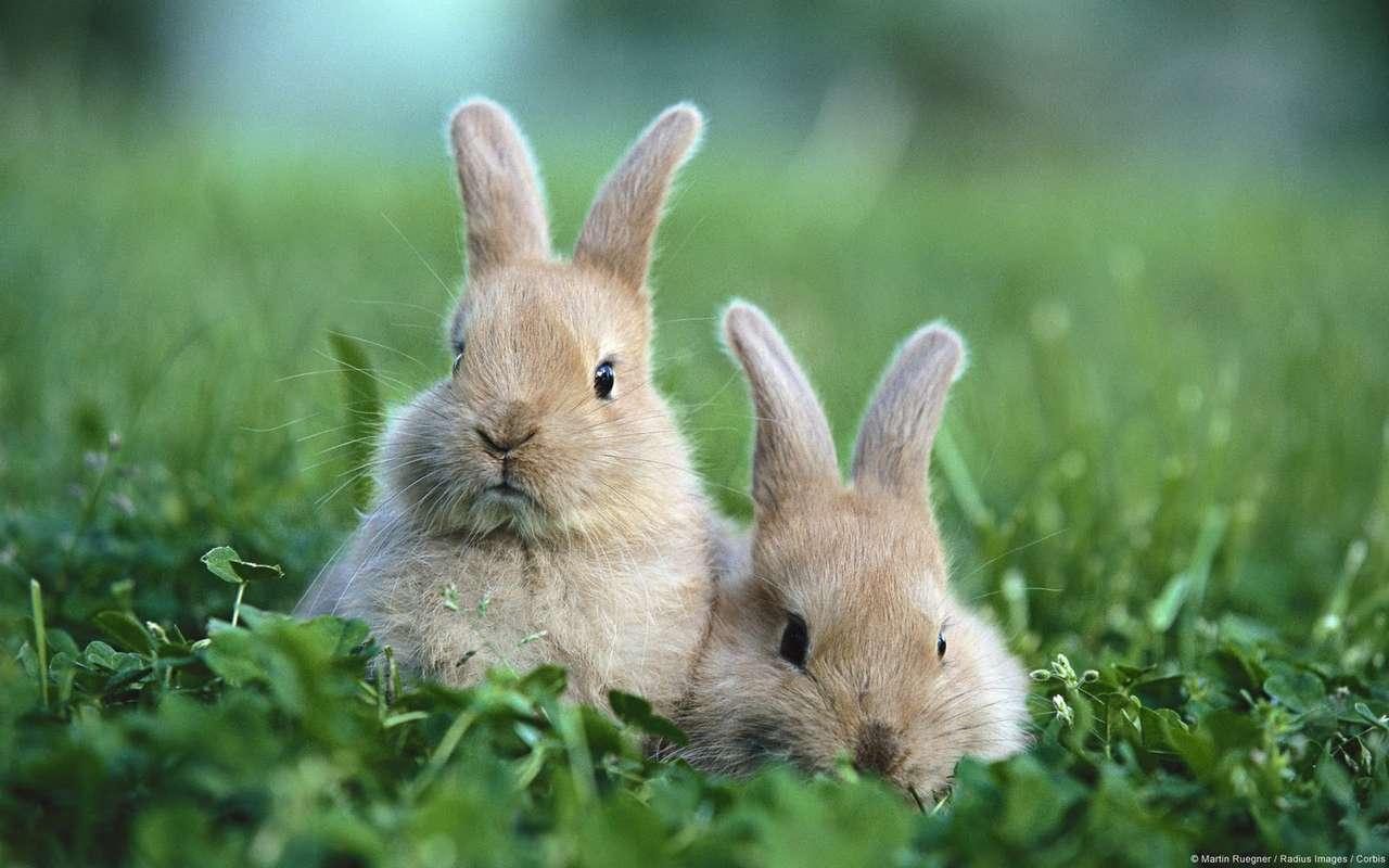 Dwa króliczki - Dwa króliczki w trawie (12×8)