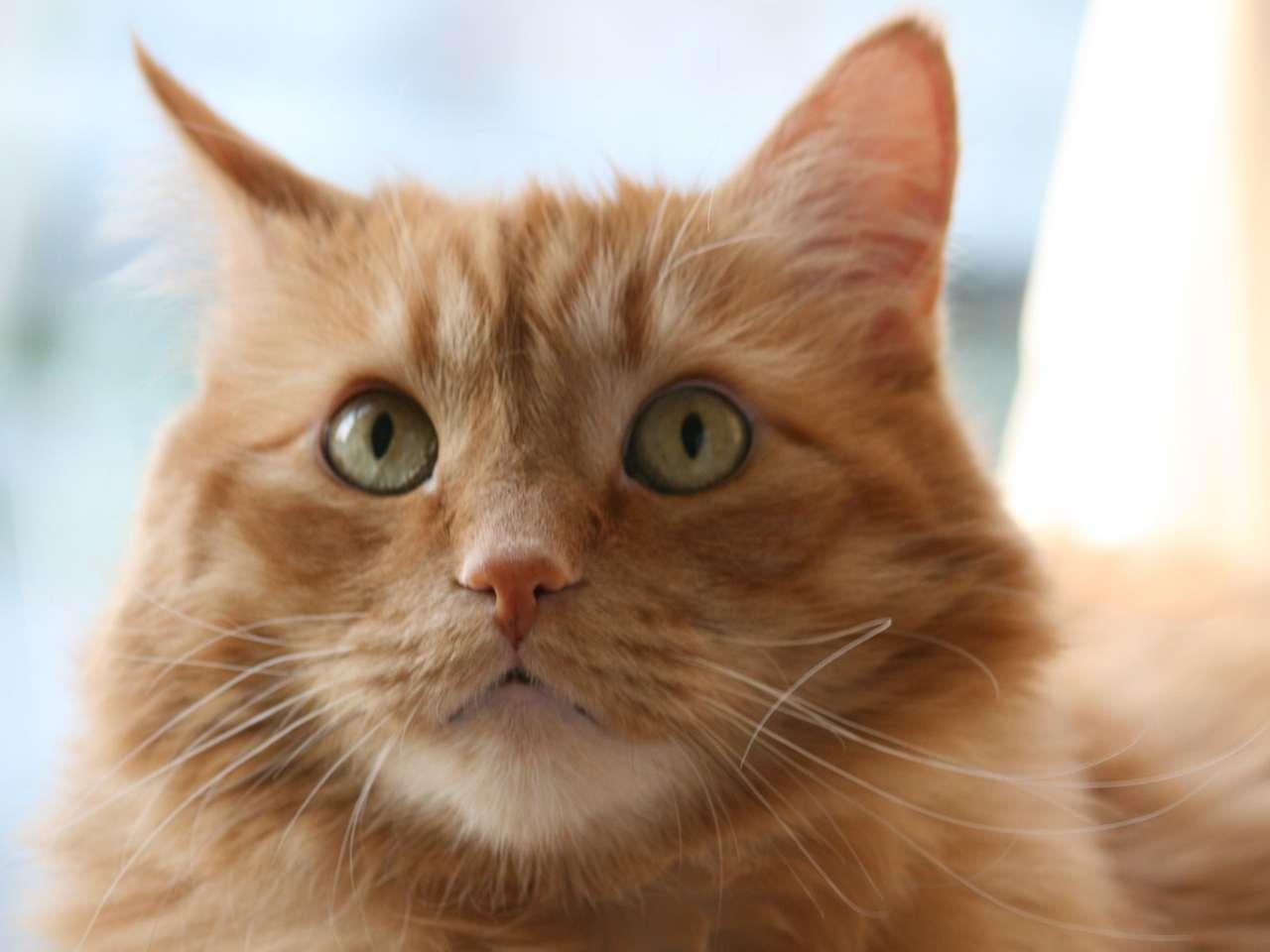 Gatto arancione - Gatto arancione con gli occhi verdi (4×3)