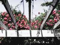 червени цветя върху бяла дървена ограда