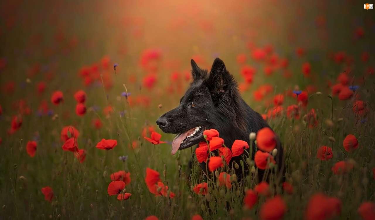 Fekete német juhász - Fekete német juhász egy réten, piros virágokkal (6×4)