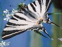 Η πεταλούδα πανιού
