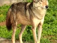 Lobo persa