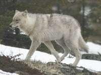 Lobo del bosque