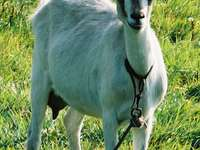 Cabra domestica