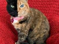 Venus gato inusual.