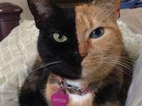 Venus gato único.