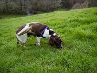 Perro de pelo corto marrón y blanco