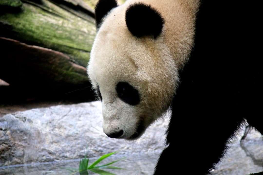 biała i czarna panda na pniu drzewa - Zoo w San Diego, San Diego, Stany Zjednoczone (19×13)