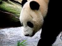 panda blanco y negro en el tronco del árbol