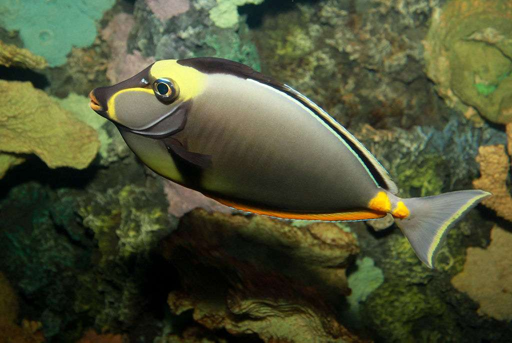 Rożec skrobacz - Rożec skrobacz, naso żółtogłowy (Naso lituratus)[4] – gatunek morskiej ryby okoniokształtnej z rodziny pokolcowatych (Acanthuridae) i rodzaju Naso (5×4)