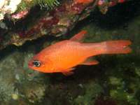 Apogon (pez)