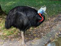single coral cassowary