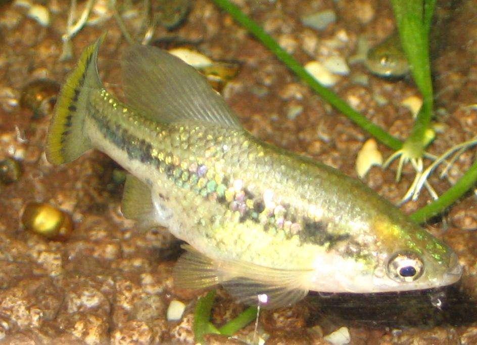 Grande Ameka - Ameka splendens (Ameca splendens [3]) - uma espécie endêmica de carpa de água doce, a única representante do gênero Ameca. Encontrado em fazendas de aquários. O nome genérico Ameca vem do nome (2×2)