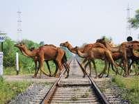 Camellos marrones en el carril del tren durante el día