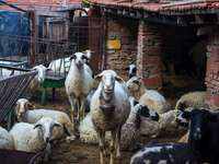 rebaño de ovejas en suelo marrón