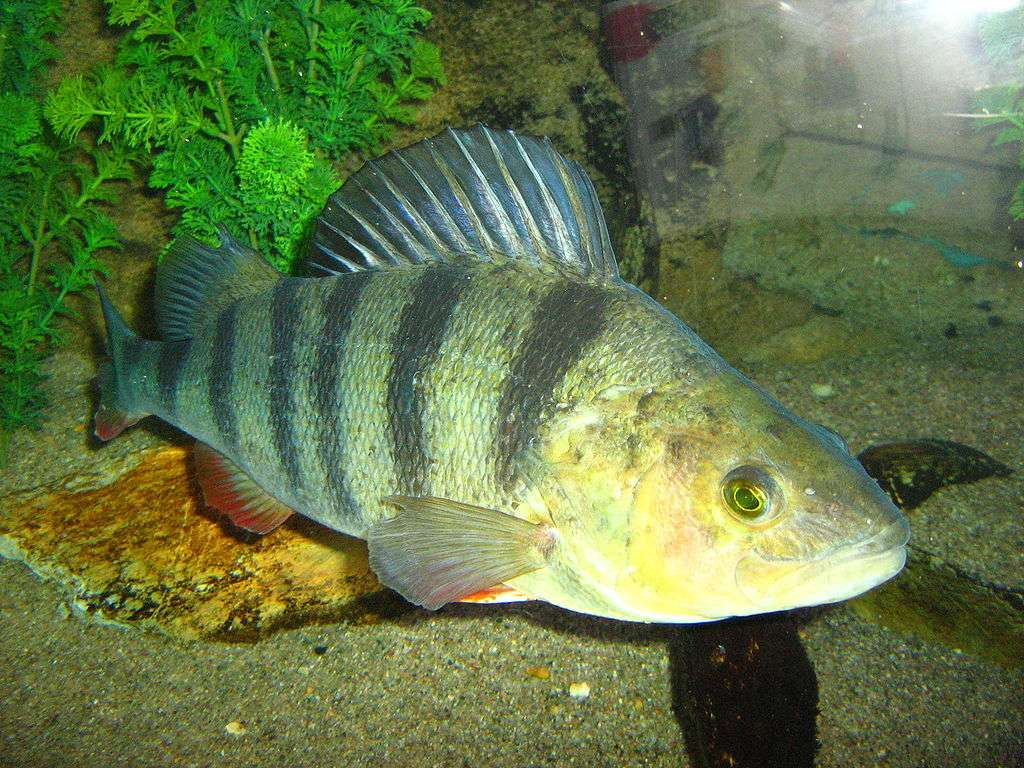 Poleiro comum - Poleiro comum [3], percas [3] (Perca fluviatilis) - uma espécie de peixe predador da família da perca (Percidae) (2×2)