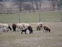 Rebaño de ovejas en el campo de hierba verde durante el día