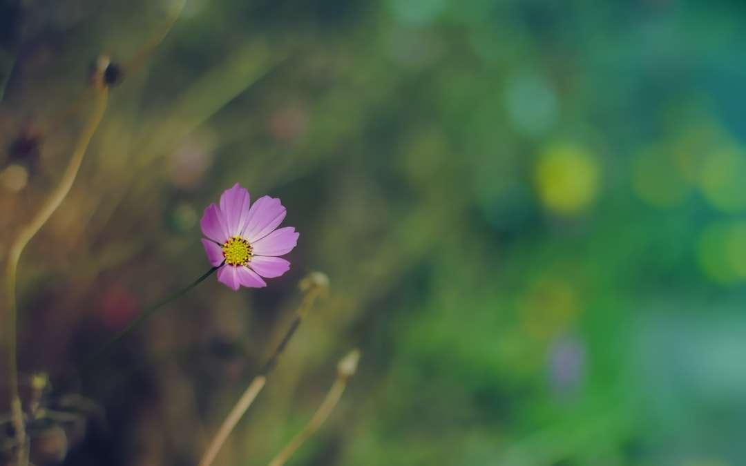 purpurowy kwiat w soczewce tilt shift - Sankt Petersburg, Россия (4×3)