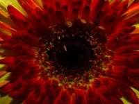 червено и жълто цвете в разцвет