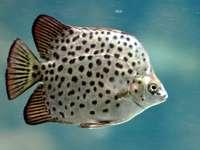 Argus (pește)