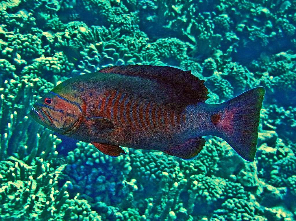 Gracila albomarginata - Gracila albomarginata [3] - espécie de peixe da família da garoupa, única representante do gênero Gracila Randall, 1964. Economicamente pescado em pequena escala e na pesca à linha (4×3)