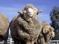 ausztrália- merinó - juh