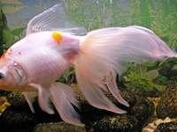 Voal (pește)