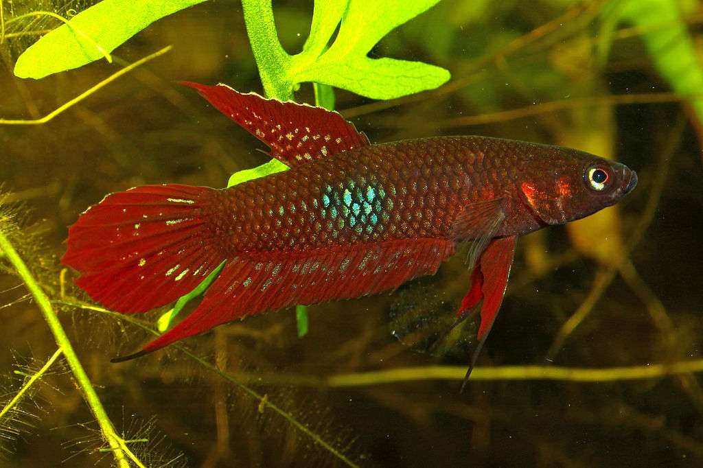 Lutador vermelho-escarlate - Peixe lutador vermelho-escarlate siamês [3], peixe lutador vermelho [4] (Betta coccina) - uma espécie de peixe poleiro de água doce da família dos guramis (Osphronemidae). Criado em aquários (3×2)