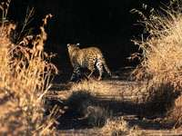 Guepardo caminando sobre campo de hierba marrón durante el día