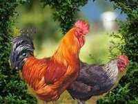 Петелът и кокошката