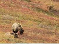 Grizzley björn