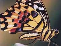 Swallowtail fjäril