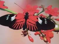 Mariposa vermelha