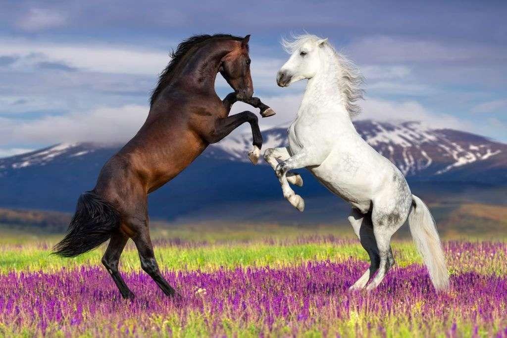 deux chevaux - 2 chevaux blancs et noirs sur un paysage de montagne (7×5)