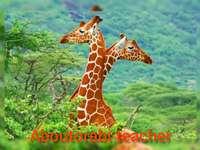 Insegnante di orabi che impara l'animale selvatico della giraffa