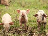 Tres cerdos