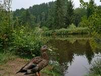 anatra marrone su terreno marrone vicino a alberi verdi durante il giorno