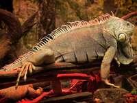 reptil- Iguanas
