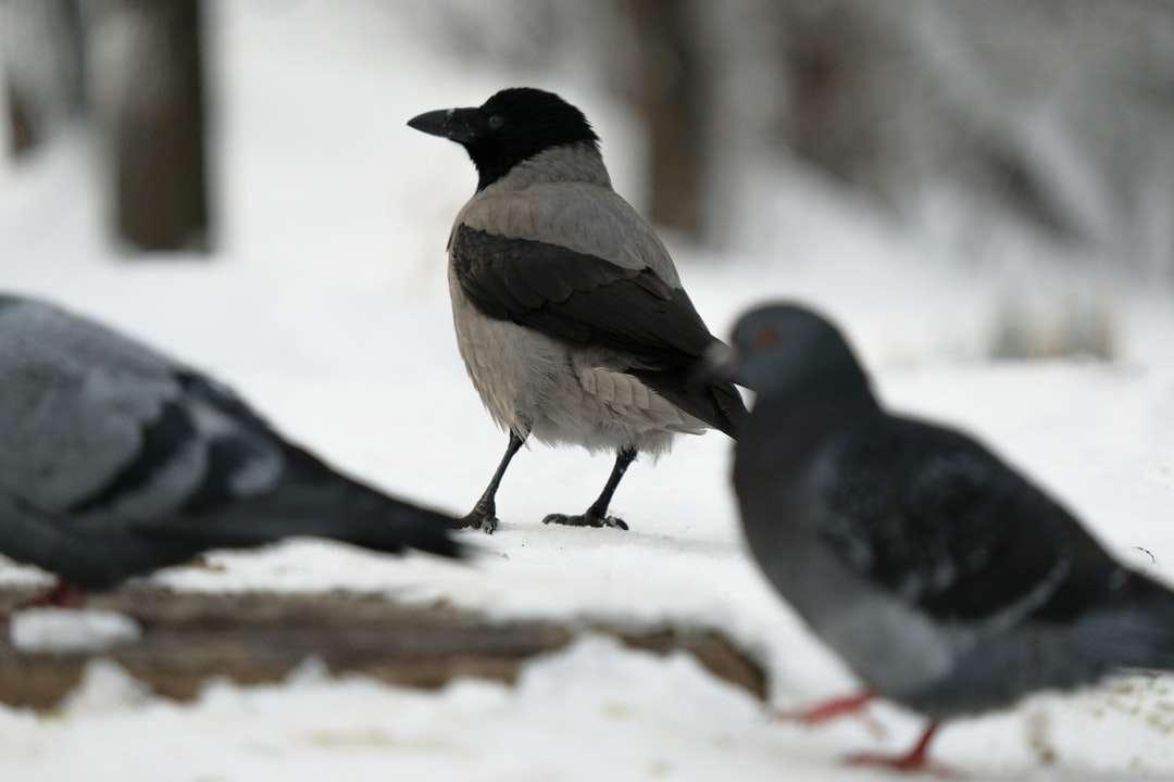 deux oiseaux noirs et blancs sur un sol couvert de neige
