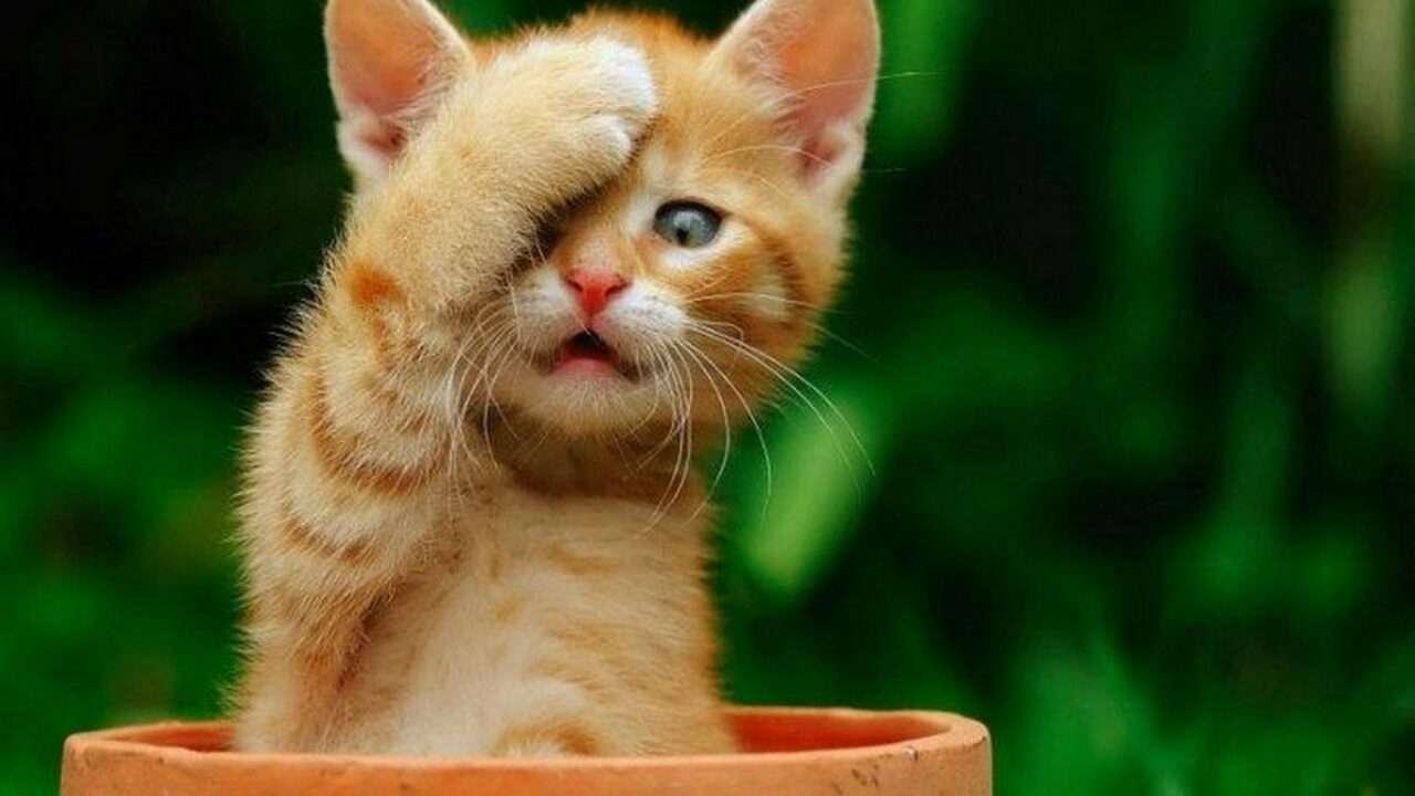 GATO BONITO - gato en una taza tapándose la cara (12×7)