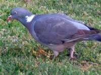 dřevěný holub
